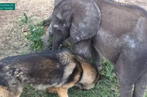 feature-elephant-befriends-dog